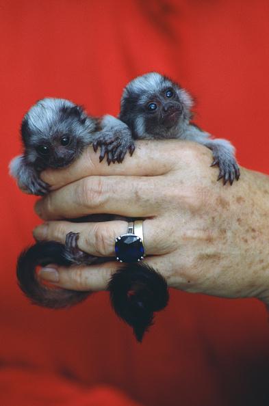 Squirrel「Baby Tamarin Monkeys」:写真・画像(12)[壁紙.com]