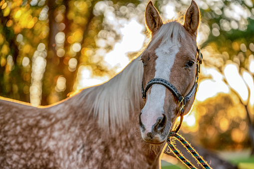 Animal Harness「A Beautiful Gold And White Spotted Palomino Quarter Horse」:スマホ壁紙(12)