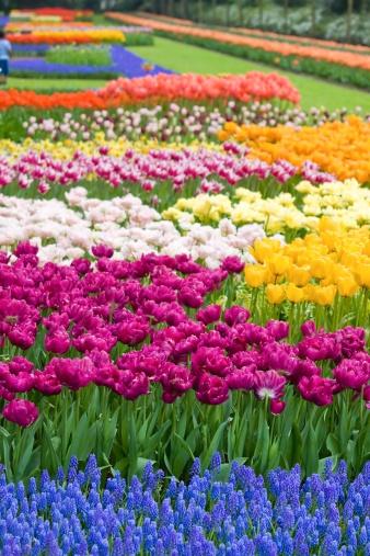 キューケンホフ公園「Beautiful garden of colorful flowers in spring - Keukenhof in Netherlands」:スマホ壁紙(2)