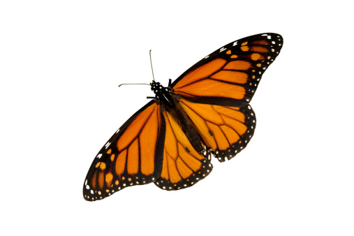 Animal Wing「Butterfly isolated on white」:スマホ壁紙(0)