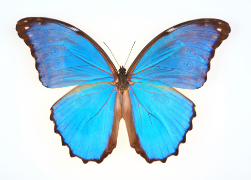 Animal Hair「butterfly isolated on white(Morpho menelaus)」:スマホ壁紙(4)