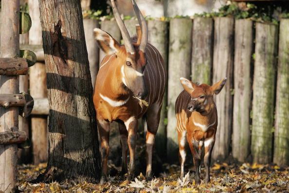 Protection「London Zoo Welcomes Baby Bongo」:写真・画像(4)[壁紙.com]