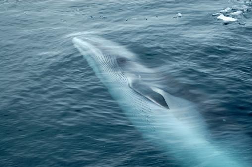 Whale「Minke Whale Swimming in Ocean」:スマホ壁紙(13)