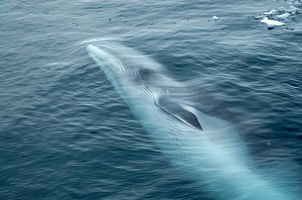 Minke Whale Swimming in Ocean:スマホ壁紙(壁紙.com)