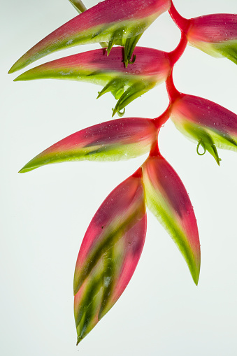 Heliconia「Sexy Pink heliconia photographed on a back light.」:スマホ壁紙(15)