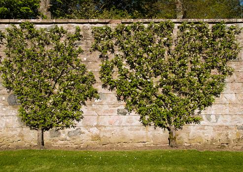 Walled Garden「Fruit trees pruned to lie flat against a wall」:スマホ壁紙(19)