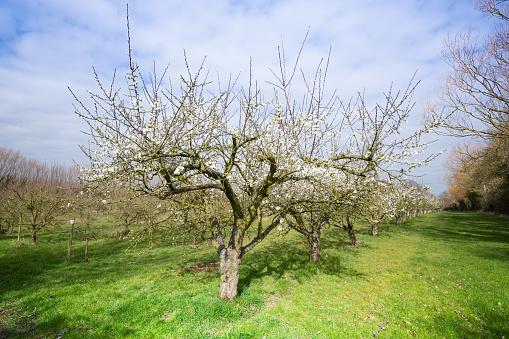 Deciduous tree「Fruit trees in orchard Norfolk」:スマホ壁紙(8)