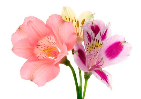 Floral Pattern「Alstroemeria」:スマホ壁紙(8)