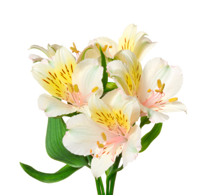 Floral Pattern「Alstroemeria.」:スマホ壁紙(8)