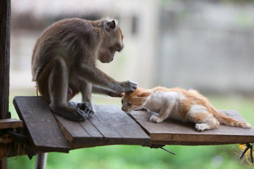 子猫「a captured pet monkey grooms a kitten at a farmer's property near bias city」:スマホ壁紙(19)