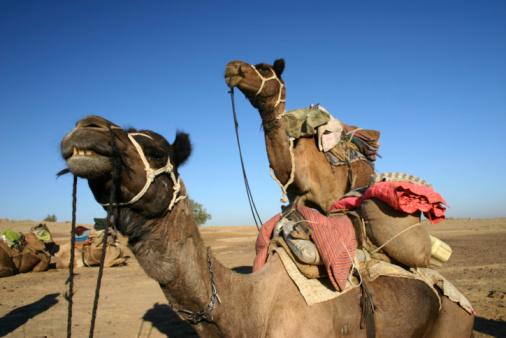 Rajasthan「Camels in Thar desert」:スマホ壁紙(7)