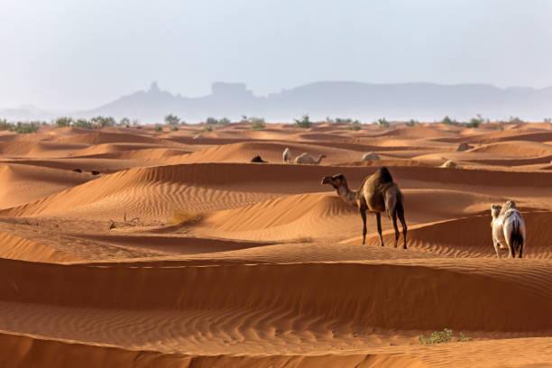 Camels in the desert, Saudi Arabia:スマホ壁紙(壁紙.com)
