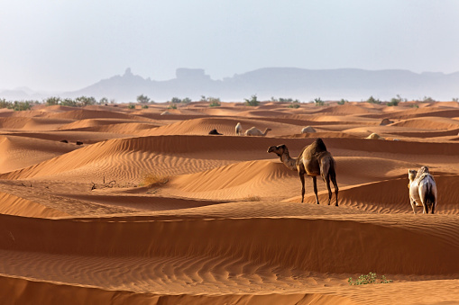 Camel Family「Camels in the desert, Saudi Arabia」:スマホ壁紙(12)