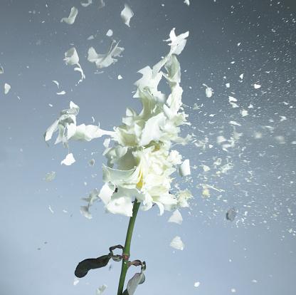 Gray Background「Exploding flowers」:スマホ壁紙(1)