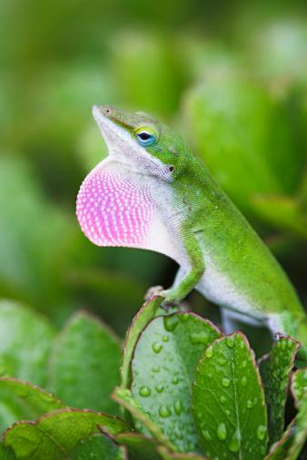 Hawthorn「Anole Lizard Displaying」:スマホ壁紙(7)