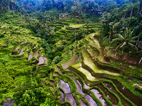 Balinese Culture「Tegalialang rice terraces in Bali, Indonesia」:スマホ壁紙(11)