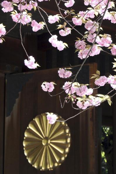 Chrysanthemum「Japanese Mark Spring Festival At Yasukini Shrine」:写真・画像(3)[壁紙.com]