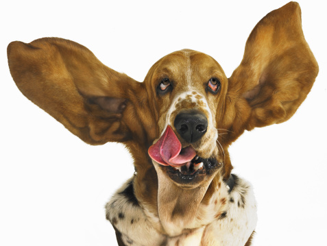 Surprise「Basset hound with ears flying」:スマホ壁紙(12)