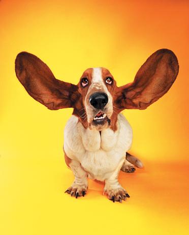 Animal Ear「Basset Hound with ears flying」:スマホ壁紙(14)