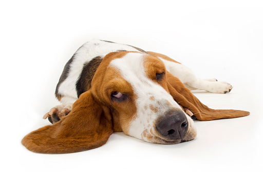 Animal Ear「Basset Hound」:スマホ壁紙(4)