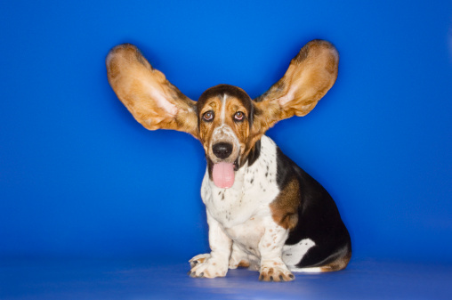 Animal Ear「Basset Hound with Outstretched Ears」:スマホ壁紙(3)