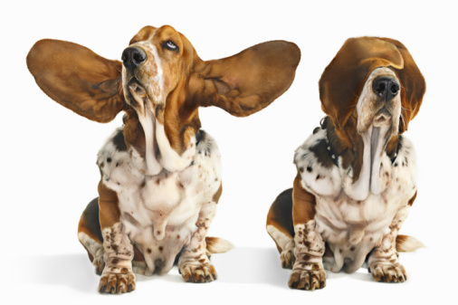Sensory Perception「Basset hound with ears open and ears and eyes clos」:スマホ壁紙(11)