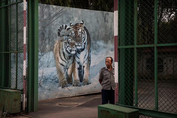 Wilderness Area「China's Siberian Tiger Farm」:写真・画像(6)[壁紙.com]