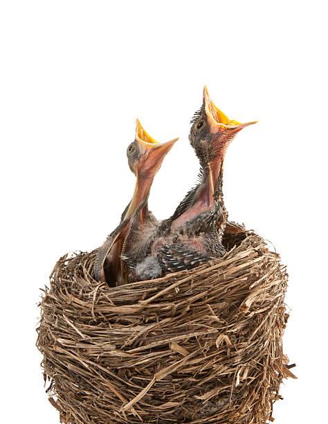 Baby birds hungry for dinner:スマホ壁紙(壁紙.com)