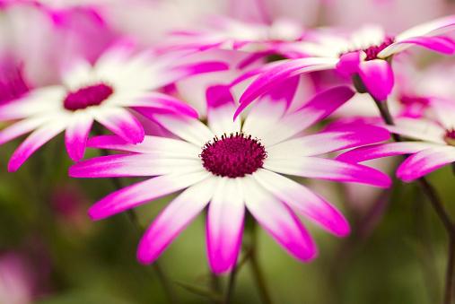 Keukenhof Gardens「White and purple flowers」:スマホ壁紙(4)