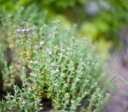 Thyme「Thyme (Thymus vulgaris), close-up」:スマホ壁紙(18)