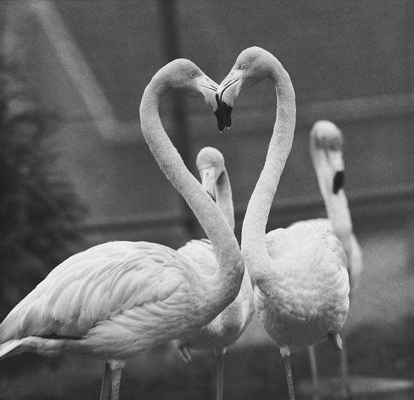 動物「Necking Flamingoes」:写真・画像(18)[壁紙.com]