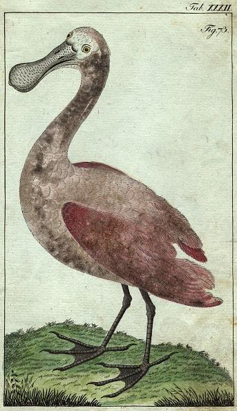 Aquatic Organism「Spoonbill」:写真・画像(2)[壁紙.com]