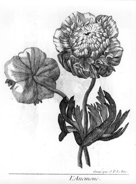 花「Anemone」:写真・画像(5)[壁紙.com]