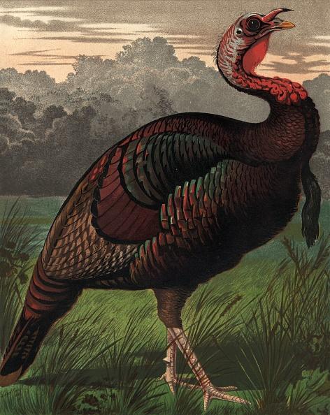 鳥「Bronze Turkey」:写真・画像(7)[壁紙.com]