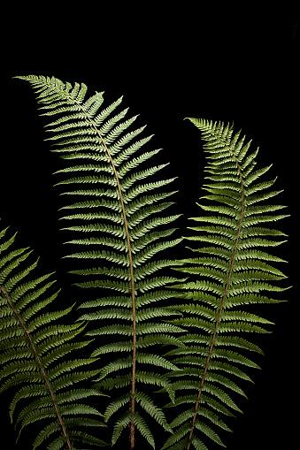 Frond「Polystichum setiferum (soft shield fern, bristle holly fern)」:スマホ壁紙(17)