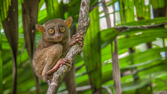 Animal Eye「Tarsier des Philippines」:スマホ壁紙(9)