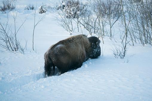 Mammoth Hot Springs「Bison in deep snow in Lamar Valley, Yellowstone」:スマホ壁紙(15)