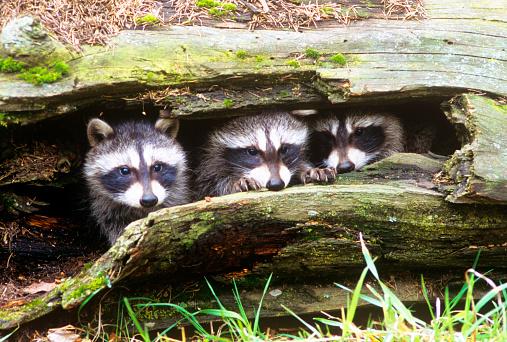 アライグマ「Young raccoons (Procyon lotor) in hollow log, Montana, USA」:スマホ壁紙(18)