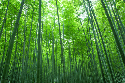 Kyoto Prefecture「Bamboo forest」:スマホ壁紙(18)