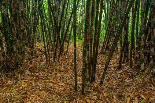 Bamboo「bamboo forest」:スマホ壁紙(0)