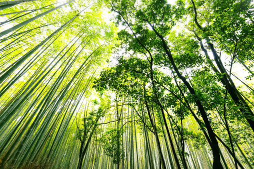 Bamboo Grove「bamboo forest in japan」:スマホ壁紙(16)