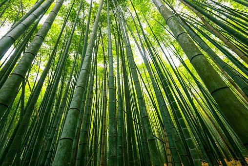 Bamboo Grove「bamboo forest in japan」:スマホ壁紙(17)