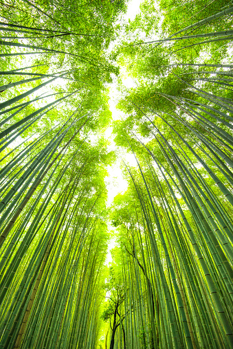 Bamboo - Plant「bamboo forest in kyoto japan」:スマホ壁紙(1)