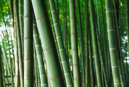 竹「竹林」:スマホ壁紙(15)