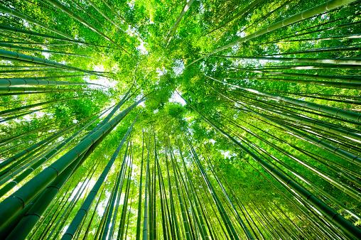 Bamboo - Plant「Bamboo Forest」:スマホ壁紙(14)