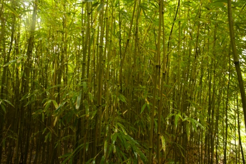 竹「Bamboo Forest, North Maui, Hawaii, USA」:スマホ壁紙(3)