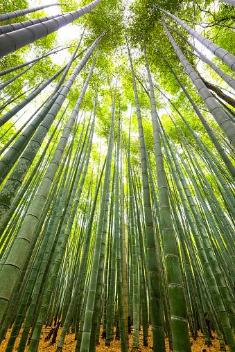 Bamboo Grove「kyoto bamboo forest」:スマホ壁紙(18)