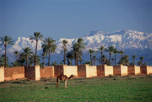 Atlas Mountains「Morocco, Marrakech, camel by ramparts」:スマホ壁紙(19)