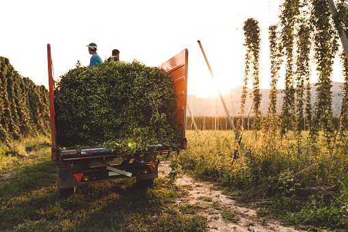 Slovenia「Tractor driving hops on the trailer」:スマホ壁紙(0)