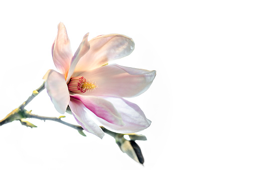 Magnolia「Magnolia blossom in front of white background」:スマホ壁紙(15)